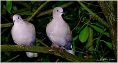 The Twins (lukiassaikul) Tags: wildlifephotography wildanimals wildbirds fauna birds gardenbirds dove collareddove doves