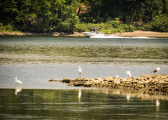 Egrets and gulls at low tide (hickamorehackamore) Tags: 2016 ct ctriver connecticut connecticutriver deepriver deepriverlanding egrets lowtide summer