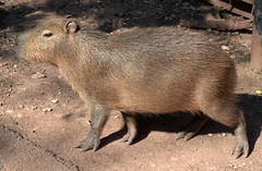 Picture of a Capybara (Tony Worrall) Tags: cumbria zoo beasts animals wild fun visit tour cumberland park sunlit cute animal collection southlakessafarizoo south lakes safari conservation daltoninfurness dalton creature beast small outdoors capybara rodent