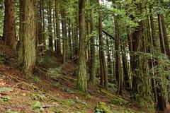 Enter The Forest (Click And Pray) Tags: managedbyclickandpraysflickrmanagr landscapeformat landscape argyll scottish scotland kilmun forest wood slope hillside green holyloch landscapeformatlandscapeargyllscottishscotlandkilmunforestwoodslopehillsidegreenholylochgbr