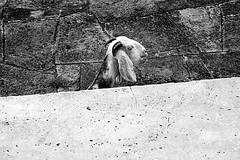 Untitled (Rk Rao) Tags: bhangarh rajasthan india goat artistic artwork unititled blackandwhie