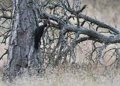 Dryocopus martius (kaius.artimo) Tags: blackwoodpecker female palokärki örö dryocopuasmartius