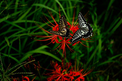 A couple of swallowtail butterfly (HarQ Photography) Tags: swallowtail butterfly fujifilm fujifilmxseries xt2 carlzeiss touit2850m insect spiderlily red spider lily