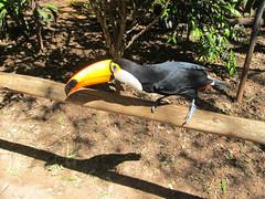 """Le Parc des Oiseaux d'Iguaçu: le plus grand des toucans, le plus beau. <a style=""""margin-left:10px; font-size:0.8em;"""" href=""""http://www.flickr.com/photos/127723101@N04/29607281766/"""" target=""""_blank"""">@flickr</a>"""