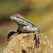 Great Basin Fence Swift