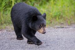 Black Bear cub - Jasper NP - Alberta (bart coessens) Tags: bear bears blackbear ursus predator predators canada alberta jasper jaspernationalpark mammal mammals animals animal wildlife