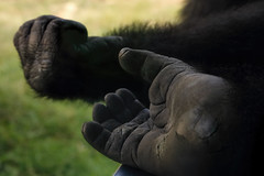 Never give up! (Sky_PA) Tags: gorilla hand foot zoo philadelpiazoo philadelphia pennsylvania depthoffield closeup quote animalplanet amateurphotography animal canon canoneos rebelt6i efs55250mmf456isstm grass green inspiredbylove nature wild