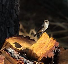 On Top of the Wood (DanielaC173) Tags: wildlife bird flycatcher spottedflycatcher muscicapastriata migratory papamoscas ave papamoscascinzento wood