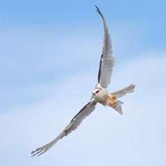 White-tailed Kite (bmse) Tags: whitetailedkitetakeoff bolsachica canon 7d2 400mm f56 l bmse salah baazizi wingsinmotion