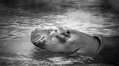 Hippopotame (steph20_2) Tags: hippopotame gh3 panasonic m43 100300 lumix monochrome monochrom noir noiretblanc ngc blanc black bw white skanchelli