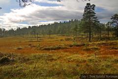 Stamnmyra south of Skogn-Vulusjen (Fjellvken) Tags: mash myr forest landsape
