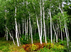 Birches (3498) (lnmp_ny) Tags: maine acadianationalpark trees birches ferns parklooproad
