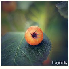 006 (imagepoetry) Tags: orange green nature closeup garden focus bokeh leafe imagepoetry a350 sonyalpha