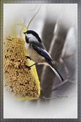 Black-capped Chickadee...Best in Light Box... (Aquamarine Images) Tags: birds chickadee feeders smallbirds winterbirds canonphotos naturebirds northamericabirds aquamarineimages blackcupchickadee