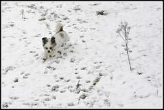 Day14-365  Bugsy (KevinChallis) Tags: dog white snow plant playing cold ice 50mm nikon shihtzu ears running twig prints snowing 365 day14 365days nikon50mm d7000 day14365 nikond7000 nikon50mm18g 50mm18g 3652013