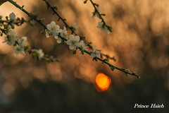 - Sunset of Plum Blossoms - Taichung City municipal Shuang-Shih Junior High School (prince470701) Tags: taiwan sonya850 sony135zaf18  taichungcitymunicipalshuangshihjuniorhighschool  sunsetofplumblossoms