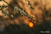 夕照寒梅 - Sunset of Plum Blossoms - Taichung City municipal Shuang-Shih Junior High School (prince470701) Tags: taiwan sonya850 sony135zaf18 台中市雙十國中 taichungcitymunicipalshuangshihjuniorhighschool 夕照寒梅 sunsetofplumblossoms
