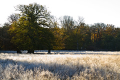 Hoarfrost (Frank Schmidt) Tags: old trees green ice nature colors yellow canon out denmark photography eos photo other colorful exposure day foto view outdoor natur watching picture deer have photowalk danmark skoven 2012 dyrehaven klampenborg skov naturen jgersborg eos7d
