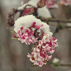 convergence of the seasons (Black Cat Photos) Tags: park new uk pink winter england snow cold flower ice nature start season dawn early spring frost crystals blossom yorkshire leeds january freezing frosty beginning together cover freeze join bloom convergence british icy britian emerge beginnings converge viburnum covering
