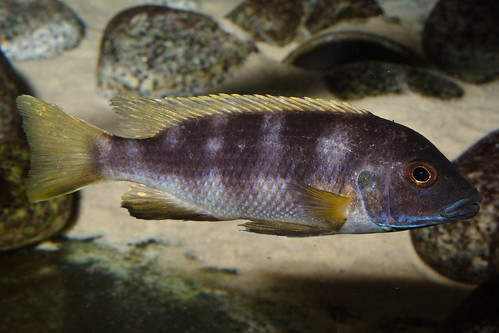 Pseudotropheus livingstonii Usisya
