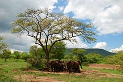 elephants in Serengeti (Kathy Perry) Tags: africa travel nature animals tanzania wildlife safari elephants afrique savanna eastafrica tanzanie