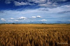 Le bon grain (photosenvrac) Tags: blue sky cloud field barley yellow jaune photo wheat cereal culture bleu ciel crop nuage champ beauce bl orge cereale thierryduchamp
