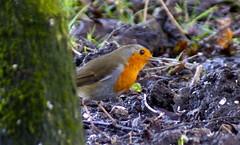 Robin (Rovers number 9) Tags: winter england cold tree robin birds minolta bokeh wildlife sony january lancashire a65 2013 biggardenbirdwatch euxton minoltaaf100200f45 bkhq sonya65 jan2013