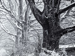 Holcombe Lane trees, winter (terryjh) Tags: wintertrees selectivefocus teignmouth seleniumtone holcombelane