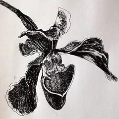 "Orchid. #flower #ink #uniball #vision micro #pen #botanical #bloom #sketch #sketchbook • <a style=""font-size:0.8em;"" href=""https://www.flickr.com/photos/61640076@N04/8427665131/"" target=""_blank"">View on Flickr</a>"