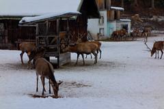 Wildfütterung am Kramer (Oberau-Online) Tags: wild garmisch garmischpartenkirchen wildfütterung