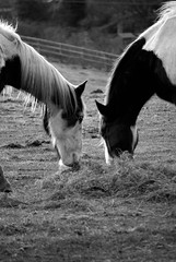 Sharing 37/365 2013 (DSLR) (@Dave) Tags: horses horse oneaday dave james nikon eat photoaday sharing 365 hay nikkor share pictureaday 55200 project365 2013 d40x 2013inphotos pad2013365
