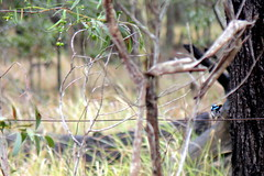 IMG 7465 2 Blue Wren at the Avenue Road. (Eminpee Fotography) Tags: nature birds bush bluewren glenugie