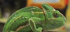 Chameleon (Keo6) Tags: blinkagain