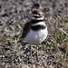 Killdeer- Matt Lee