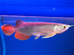 arowana RTG Mahato usia 4 bulan (zushioda) Tags: red fish golden tail rtg arowana mahato