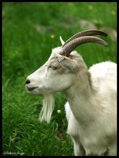 Goat study III