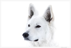 Portrait of a dog (bernd obervossbeck) Tags: portrait dog white hund highkey animalportrait tierportrait canoneos60d mygearandme