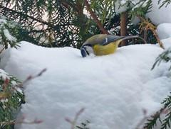 2013 01 20 06 Home face wash (Mark Baker, photoboxgallery.com/markbaker) Tags: uk blue snow bird nature face birds project garden photo day tit baker mark wildlife january wash photograph photoaday british 365 washing 2013 365selection picsmark