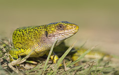 Western Green Lizard (Lacerta bilineata) (Kristian Bell) Tags: green nature animal fauna bell reptile wildlife lizard western jersey kris february kristian lacerta bilineata