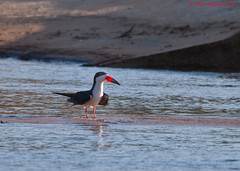 Black Skimmer (Rynchops niger cinerascens) adult (Hoppy1951) Tags: southamerica aves guyana immature animalia blackskimmer laridae charadriiformes rynchopsniger chordata rynchops rupununiriver rynchopsnigercinerascens taxonomy:class=aves taxonomy:kingdom=animalia taxonomy:phylum=chordata taxonomy:family=laridae taxonomy:order=charadriiformes becenciseauxnoir taxonomy:species=niger rayadoramericano taxonomy:binomial=rynchopsniger taxonomy:common=blackskimmer taxonomy:genus=rynchops karanambulodge allanhopkins taxonomy:common=becenciseauxnoir taxonomy:common=rayadoramericano hoppy1951