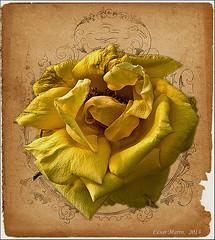 Rosa de Enero.   C.M.  Explore. (Cesalf) Tags: naturaleza