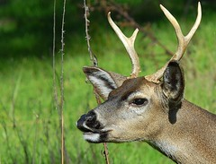 Black-tailed Deer, head shot (birding4ever) Tags: nature 5 ngc npc americanriverparkway blacktaileddeer naturesfinest odocoileushemionus animalworld spectacularanimals ancilhoffmanpark theworldsbestnature wildlifeandmacrophotography naturesspirit naturesgalley birdsandwildlife fantasticwildlife worldnatureandwildlifegroup wildlifeaward ~newenvyofflickr~ northamericannatureandwildlifephotography wildlifecloseups naturesprime naturescarousel thewonderfulworldofnature naturesgoldencarousel naturewithallitswonders naturallywonderful hennysanimalkingdom thebestofwildlifeandnature amazingwildlifephotography 5wonderwall prestigenaturecompetitionsrus thenaturesbestwildlifegroup defenders{nature}macroandcloseup naturesplatinumcarousel dmslair dolphingroupwildlifephotography bestofnaturesgallery thesunshinegroup birdsarebestbutnatureisfabtoo ourwonderfulandfragileworld sjohnsonsfaunahighqualityimagesonly awesomeanimalsnobirds