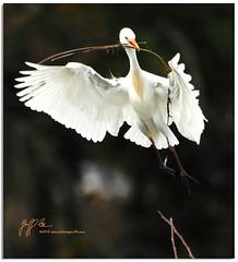 "Cattle Egret, Nest Building (a.k.a. ""Double Duty"") (Geoff Coe) Tags: florida explore 129 delraybeach nestbuilding cattleegret wakodahatchee specanimal"