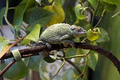 Tail Grip (Florence Ivy) Tags: lizard mating chameleon gravid jacksonschameleon mordrid chameleonsexparty