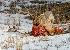 TABLE MANNERS (Sandy Stewart) Tags: park winter wild snow nature photography us nationalpark photos wildlife hunting sunny national northamerica yellowstone elk coyotes canines yelllowstonenationalpark sandystewart northamericawildlife