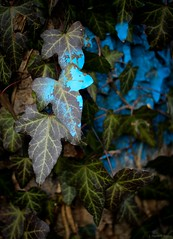 blue ivy (Jen MacNeill) Tags: nature forest woods tree jennifermacneilltraylor jmacneilltraylor gypsymarestudios pennsylvania lancastercounty trail blue ivy spraypaint sprayed marked marker graffiti leaf leaves flickrfriday lostinthewoods