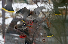 Bohemian Wax Wings (she who is) Tags: winter red white calgary beautiful birds yellow grey wings berries alberta wax flapping mygarden bohemian bowness feedingfrenzy mountainashtree
