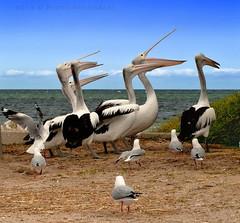 blah blah blah (PhotoArt Images) Tags: ocean sea seascape pelicans seagull seabird sigma50500mm nikond700 pelicansandseagulls photoartimages pelicansatthebeach