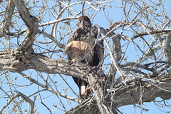 Eagle Watching 2013 (vikesfan1) Tags: bird minnesota eagle mississippiriver