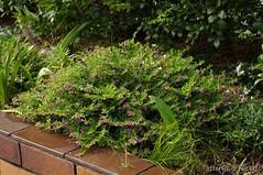 Cuphea hyssopifolia (Tatters ) Tags: home garden habit small australia qld shrub cuphea lythraceae cupheahyssopifolia